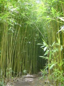 bambu japones