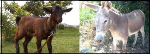asno y cabra