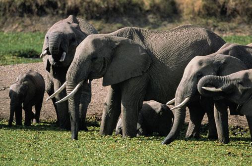 Seamos como los elefantes | Compendio de Velas